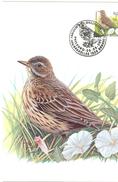 MC BUZIN  Bird / Pipit Farlouse / Graspieper / Anthus Pratensis / Meadow Pipit / Wiesenpieper 2000 - Songbirds & Tree Dwellers
