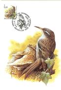 MC BUZIN / Grimpereau Des Jardins / Boomkruiper / Certhia Brachydactyla / Short-toed Treecreeper / Gartenbaumläufer 2000 - Sperlingsvögel & Singvögel