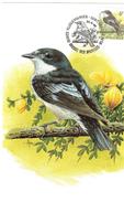 MC BUZIN / Gobemouche Noir / Bonte Vliegenvanger / Ficedula Hypoleuca / Piet Flycatcher / Trauerschnäpper   1996 - Songbirds & Tree Dwellers