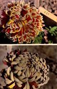 Var, Hyeres, Chrysanthemes Paul Tatu, Publicitaire    (bon Etat) - Hyeres