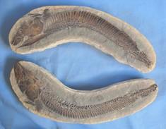 Intéressant Et Grand Fossile De RHACOLÉPIS - Fossielen