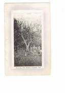 Cpa -  Bermudes BERMUDA, TOM MOORE'S CALABASH TREE - Arbre - 1919 - Bermudes