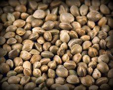 Hemp RAW CANNABIS SEEDS 25g Garden Growing WHOLE NUTRITIUS BIRD FOOD New Harvest - 2. Seeds