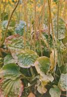Broadleaf Plantain - Plantago Major - Medicinal Plants - Herbs - 1980 - Russia USSR - Unused - Heilpflanzen