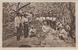 TRINIDAD - BREAKING COCOA PODS - Trinidad