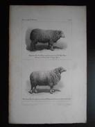 """Lithographie D'après Daguerréotype """"Concours Régional De Toulouse - Béliers New Kem Mérinos Et New Kem Gascogne - 1852"""" - Lithographien"""
