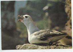 Fulmar Cousin De L'Albatros (falaises De Normandie Recemment Colonisées) Ornithologique Normand Caen (cp Vierge) - Birds