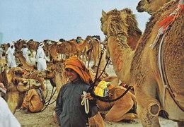 United Arab Emirates Dubai PPC Boy With His Camels Photo A. Shiblaq (2 Scan) - Dubai