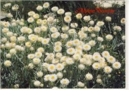 ALPINE SUNRAY, Flower Growing In BRIGHT; Victoria, Exposed Alpine Herpfield, Nice Stamp - Australia