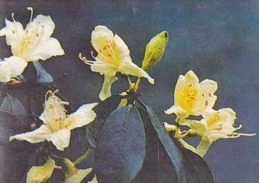 China - Azeleas On Mount Emei, Sichuan Province - Rhododendron Ambiguum Hemsl. - Fleurs
