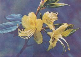 China - Azeleas On Mount Emei, Sichuan Province - Rhododendron Lutescens Franch. - Fleurs