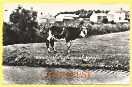 CPSM   VACHE HUMOUR - Koeien