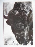 Bison Bialowieza National Park  / Poland  / - Bull