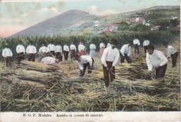 POSTCARD PORTUGAL MADEIRA APANHA DA CANA DE AÇUCAR - SUGAR CANE HARVEST - Madeira