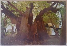 KOS - GREECE - THE PLANE-TREE OF HIPPOCRATES, OLDEST TREE OF EUROPE - PLATANE DES HIPPOKRATES - PLATANO - Alberi