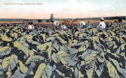Tabacco In Field - Clarksville - Tenn TN Tennessee - Clarksville