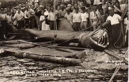HRVATSKA, CROATIA, KRALJEVICA 1934, MORSKI PAS, BASKING SHARK, MORSKA NEMAN, SHARK, HAI, 3000 Kg, 8.00 M - Croatia