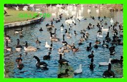 ANIMAUX - LAC DES CYGNES - JARDIN ZOOLOGIQUE DE GRANBY, QUÉBEC - PROD. BY HOTEL PRINTING CO - - Oiseaux
