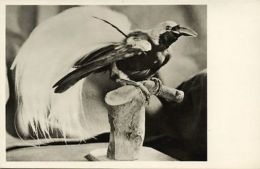 Dutch New Guinea, Paradise Bird (1950s) RPPC - Papoea-Nieuw-Guinea
