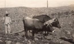 USA? Agriculture Paysan Et Attelage A Boeufs Labourage Ancienne Carte Photo Vers 1920