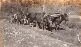 USA? Agriculture Paysans Et Attelage A Boeufs Labourage Ancienne Photo Snapshot Vers 1920 - Places