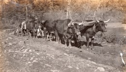 USA? Agriculture Paysans Et Attelage A Boeufs Labourage Ancienne Photo Snapshot Vers 1920