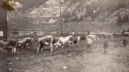 Canada Quebec Gaspésie Anse Au Gascon? Scene Agricole Vaches Enfants Ancienne Photo Snapshot 1920