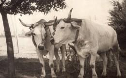 USA? Travaux Des Champs Paire De Boeufs Labourage Ancienne Photo Vers 1930