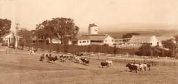 USA Californie? Paysage Rural Ferme Et Vaches Ancienne Photo Cheney 1920