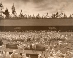 USA Californie Ferme Elevage De Poules En Plein Air Ancienne Photo 1930 - Places