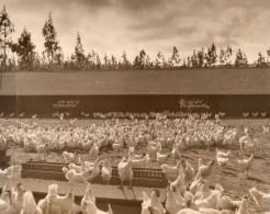 USA Californie Ferme Elevage De Poules En Plein Air Ancienne Photo 1930