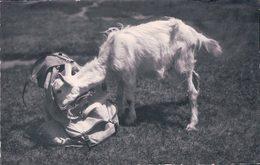 Chèvre Indiscrète (1255) - Animaux & Faune