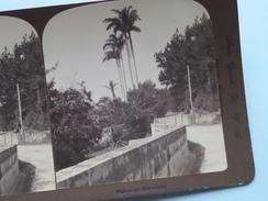 "PALMS In BERMUDA "" Stereo Photo 190? R Y YOUNG ( Voir Photo ) !! - Photos Stéréoscopiques"