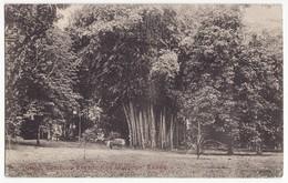 CEYLON SRI LANKA Kandy, Giant Bamboos Peradeniya Gardens, C1910s Postcard - CEYLAN - Sri Lanka (Ceylon)