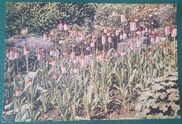 PRIMULA VIALII - ROYAL BOTANIC GARDEN EDINBURGH - Fleurs