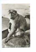 Rock Apes Gibraltar - Gibraltar