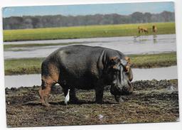 CPM ~Hippopotames. - Hippopotamuses