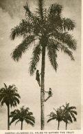 NIGERIA - Climing Oil Palms To Gather Fruit - Nigeria