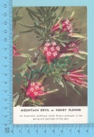Fleurs Australienne  - Mountain Devil Or Honey Flower -  2 Scans - Fleurs