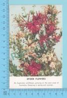 Fleurs Australienne  -Spider Flower -  2 Scans - Fleurs