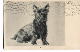 Scottie  Dog - Honden