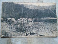 D148496  Romania  Hungary Tusnad Tusdnadfürdo  -Cows Kühe Vaches Szt.Anna To Szvoboda Csíkszereda Ca 1910 - Roemenië