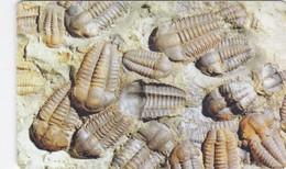 Czech Rep. C291, Trilobite Elipsocephalus Hoffi, 2 Scans.