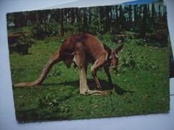 Australië Australia A Kangaroo - Australië