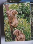 Australië Australia Koala Bears - Australië