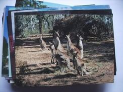Australië Australia Kangaroos A Family - Australië