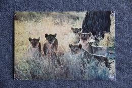 Lionne Et Lionceaux. - Lions