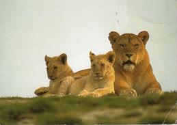 Lionne Et Ses Petits - Lions