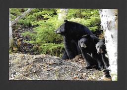 ANIMALS - ANIMAUX - OURS NOIR - URSUS AMERICANUS - ZOO SAUVAGE DE ST FÉLICIEN - Ours