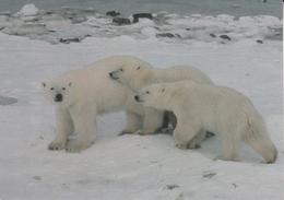 CPSM/gf  ANIMAUX.  Ours Blanc Femelle Et Ses Petits Au Bords De La Baie D'Hudson. ...F041 - Bears